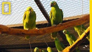 Download Juliana Machado Ferreira: The Stolen Birds of Brazil | Nat Geo Live Video
