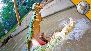 Download Crocodile Feeding FRENZY! Video