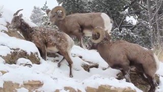 Download Yellowstone National Park bighorn sheep December 14th, 2015 Video