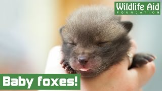 Download Baby fox cubs arrive at Wildlife Aid! Video