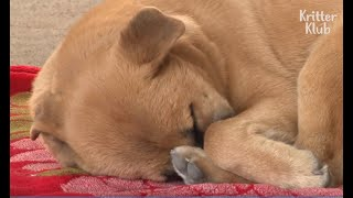 Download Sleep-Deprived Dog Has A Nightmare Every Night | Animal in Crisis EP46 Video