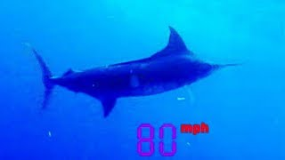 Download Black Marlin: The Fastest Fish on the Planet | Ultimate Killers | BBC Video
