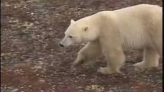 Download !!POLAR BEAR CAUGHT EATING CUB!! Video