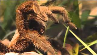 Download Tarantula - Discover Nature (KRCG) Video