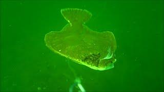 Download Incredible Underwater Flounder/Fluke Fishing Behavior! Video