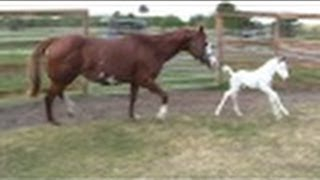 Download ″Coconut″- Beautiful Rare WAR HORSE Medicine Cap Filly - first day outside! Video