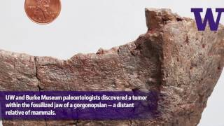 Download Fossilized evidence of a tumor in a 255-million-year-old mammal forerunner Video