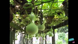 Download How to Grow Gourds Video