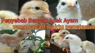 Download Penyebab Banyak Anak Ayam Yang Cacad Waktu Penetasan (kaki Bengkok) Video