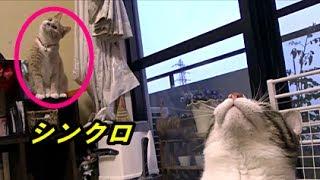 Download 新しい猫じゃらしで遊ぶ♀猫こむぎ&♂猫だいずがシンクロした🎵 Video