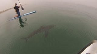 Download GREAT WHITE SHARKS SURFING Video