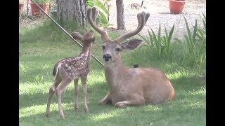Download Young Deer in the Yard 2017 Video