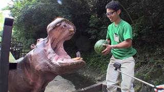 Download カバのスイカまるごとタイム Hippo's watermelon time. Video