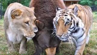 Download Leo the Lion (of Noah's Ark's ″BLT″ trio) Video