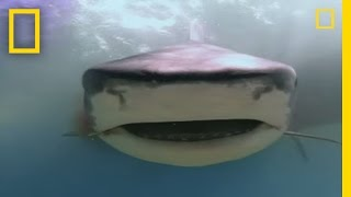 Download Dugongs vs. Tiger Sharks | National Geographic Video
