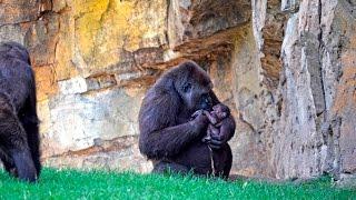 Download Bebé gorila recién nacido en BIOPARC Valencia (#ExperienciasBioparc) Video