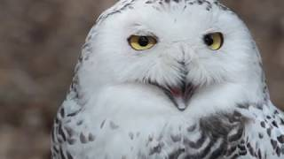 Download Les oiseaux de la forêt boréale Video