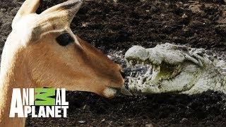 Download ¡Bestial ataque de cocodrilo gigante a Impala! | Ríos de África | Animal Planet Video
