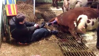 Download Breech Delivery on overdue cow Video