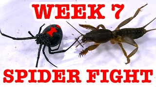 Download Redback Spider Home Week 7 Devil Bug 1 To 1 Spider Fight To Death (Graphic Video) Video