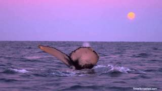 Download Whale Watching / Walbebeoachtung in Tromsø (Norway/Norwegen) by Reisefernsehen - Reisevideo Video