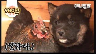 Download 모자 사이라는데 닮은 거라곤 털 색깔뿐인 거 실화냐 l Puppies' Mom Is A Chicken?! Video