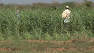 Download Community Fodder Production in Mandera - Kenya Video