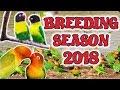 Download Black Mask Lovebirds Aviary | Love Birds Colony Breeding Season 2018 Video