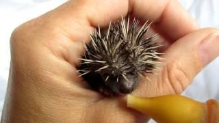 Download Baby egel, een stuiterend grommend bolletje. Very funny baby hedgehog !! Video