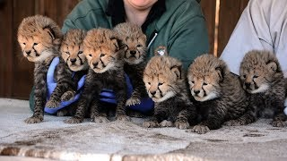 Download Septuplet Cheetah Cubs Born!! Video