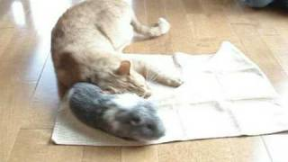 Download Cat Loves Guinea Pig Video