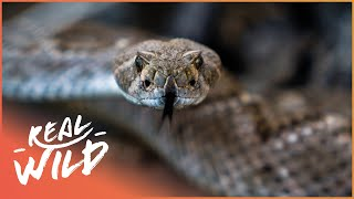 Download Explore The Western Diamondback Rattlesnake! | Real Wild Video