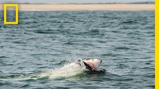 Download How I Got the Shot: Photographing Great White Sharks off Cape Cod | National Geographic Video