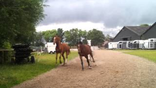 Download Manege paarden en pony's naar de wei! Video