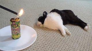 Download Waking a sleeping rabbit with a firecracker Video