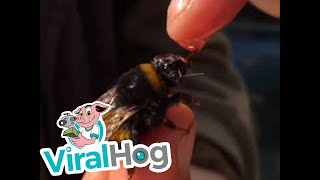 Download Rescuing a Bumble Bee || ViralHog Video