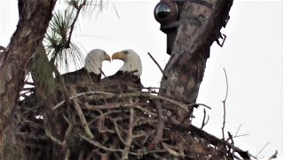 Download SWFL Eagles A Stick By Both & Food By M, Eating His Fill Before Sharing 05-23-19 Video