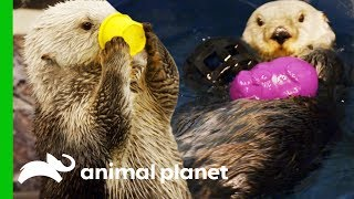 Download Southern Sea Otters Swim Together For The First Time | The Aquarium Video