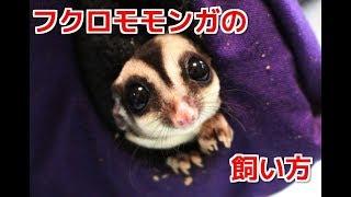 Download フクロモモンガの飼い方 Video