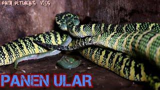 Download AKHIRNYA BERANAK, T. WAGLERI,VIPER POHON TERCANTIK Video