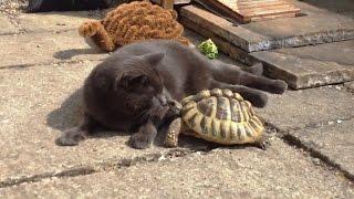 Download ″Cats vs. Tortoises Compilation″ || CFS Video