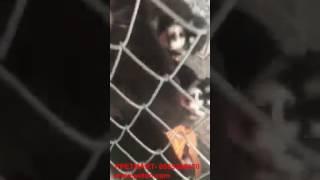 Download Bán chó alaska đen trắng đà nẵng- ship toàn quốc Video