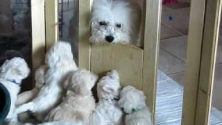 Download Bichon Frisé Welpen-Mama kommt zu Besuch Video