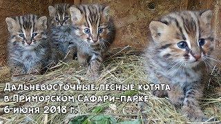 Download Дальневосточные лесные котята в Приморском Сафари-парке 6 июня 2018 г. Video