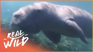 Download The Elusive Mermaid [Dugong Documentary] | Real Wild Video