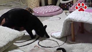 Download A cat left its poop【Cats room Miaou】 Video