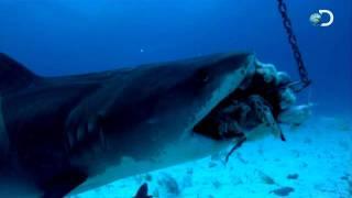 Download Shark Week - How Sharks Hunt | Battling a Tiger Shark Video