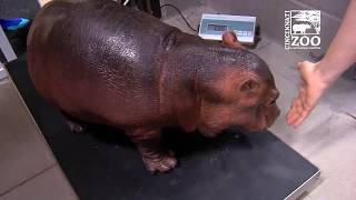 Download Baby Hippo Fiona Turns 1 - First Year Highlights - Cincinnati Zoo Video