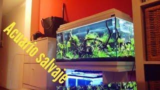 Download Dejo mi acuario 2 MESES Y... ACUARIO SALVAJE! Video
