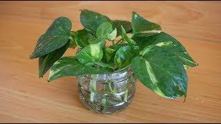 Download Trồng trầu bà chỉ từ 1 chiếc lá, có thật không? | Growing money plant only from a leaf, is it true? Video